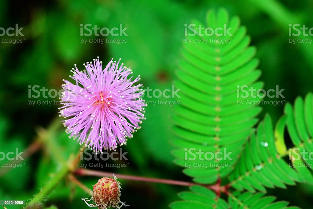 Beautiful blooming pink flower of sensitive plant in forest stock photo