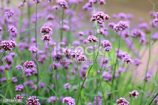 Beautiful blooming purple verbena flower in garden, and blurred floral background.
