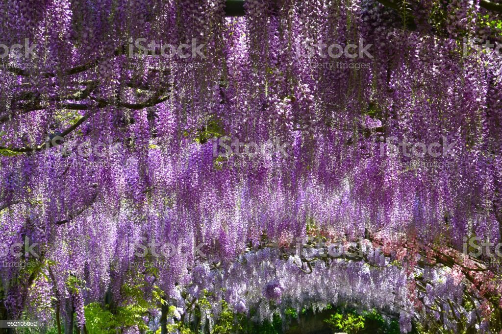 Beautiful Blooming Purple Wisteria Famous Wisteria Tunnel At