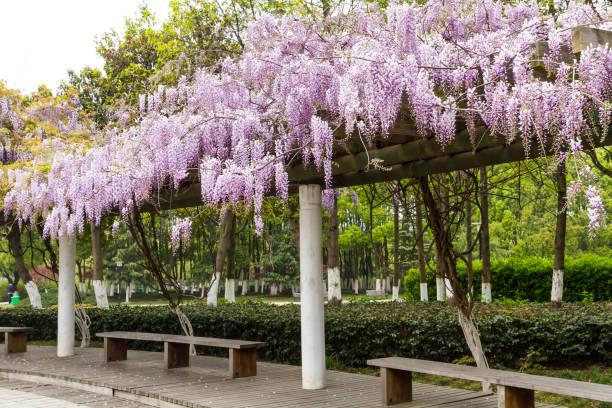 schöne lila glyzinien blühen. - blauregen stock-fotos und bilder