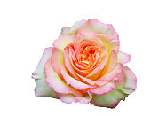 istock Beautiful blooming rose on white background 1151971006