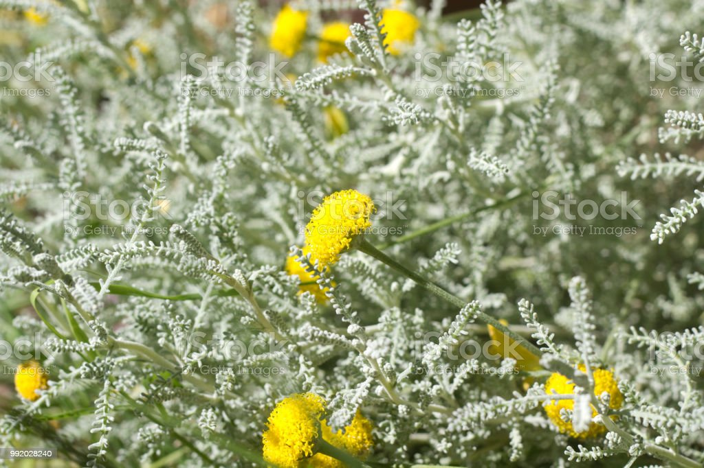 Beautiful Blooming Santolina stock photo