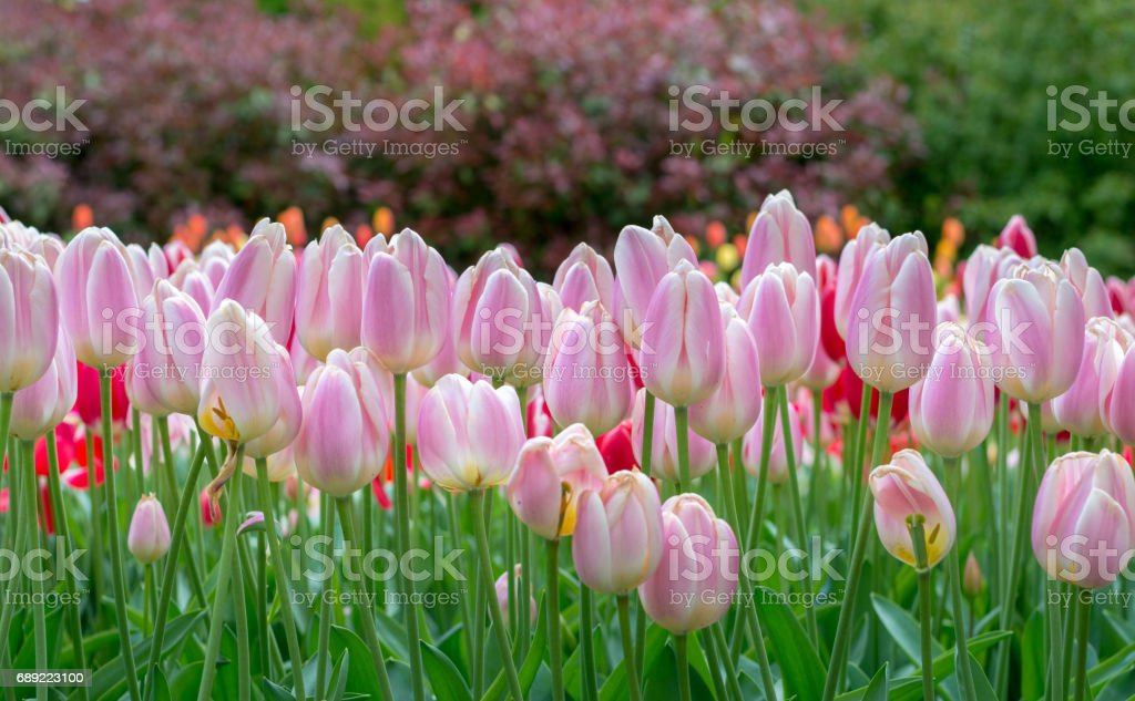 Beautiful blooming soft pink tulip flower wallpaper in the garden, bokeh at background - Stock image .