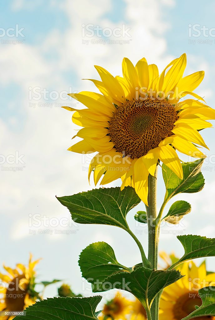 Beautiful blooming sunflower royalty-free stock photo