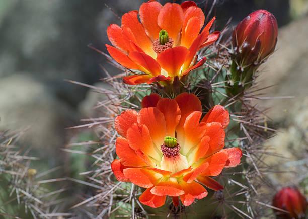 Beautiful blooming wild desert cactus flower picture id517303084?b=1&k=6&m=517303084&s=612x612&w=0&h=uipenffqpvlj5sh6tvz6t38xgra5qfn9bony3einefw=