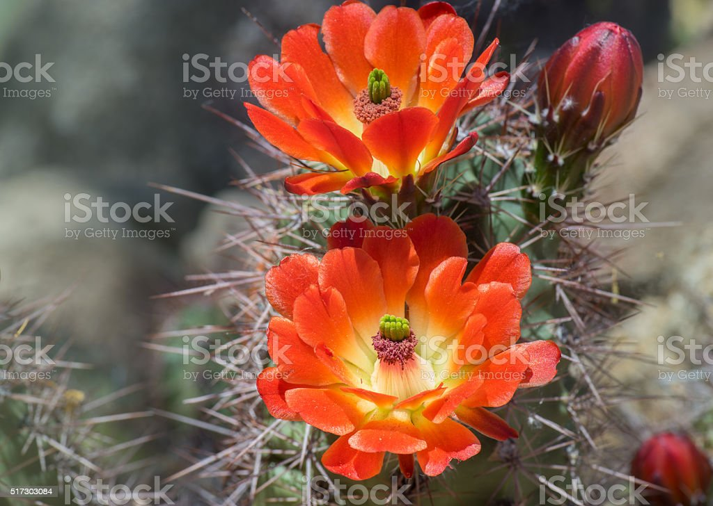 Beautiful blooming wild desert cactus flower stock photo
