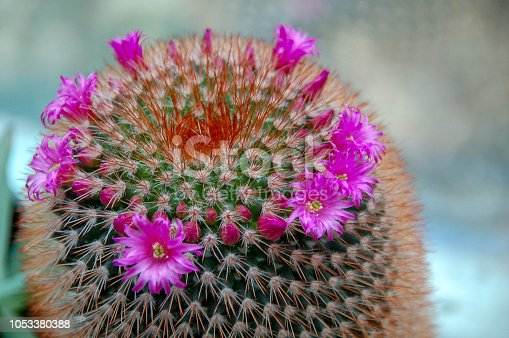 Beautiful blooming wild desert cactus flower or cacti bloom with blur background