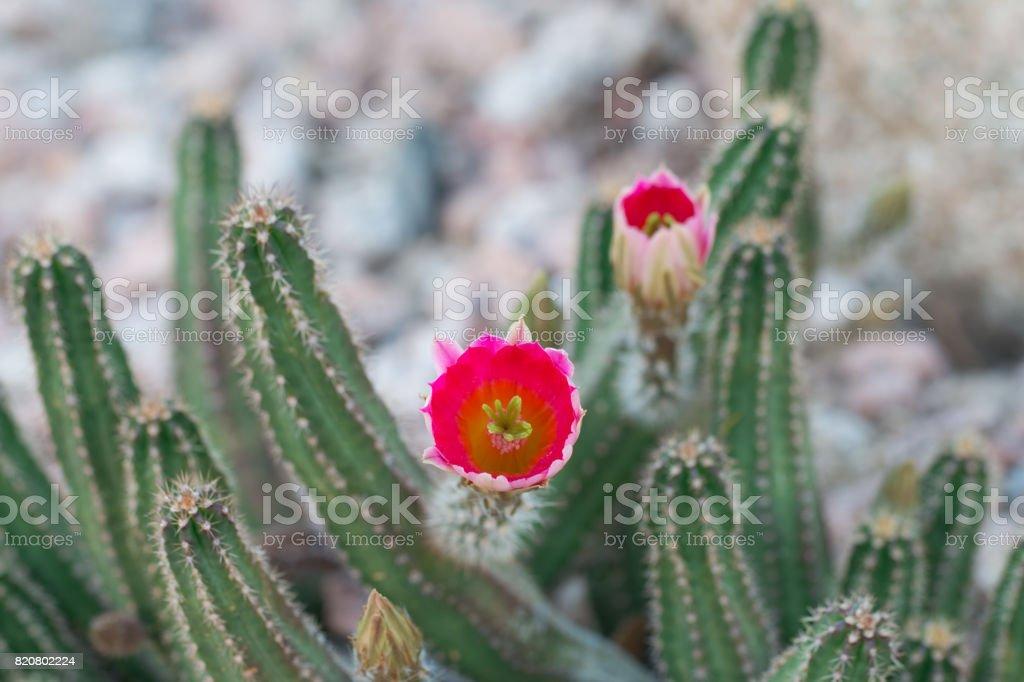 Beautiful blooming wild desert pink cactus flowers. stock photo
