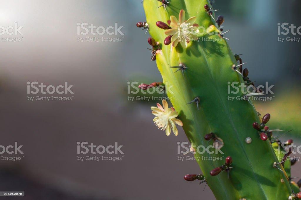 Beautiful blooming wild desert white cactus flowers. stock photo