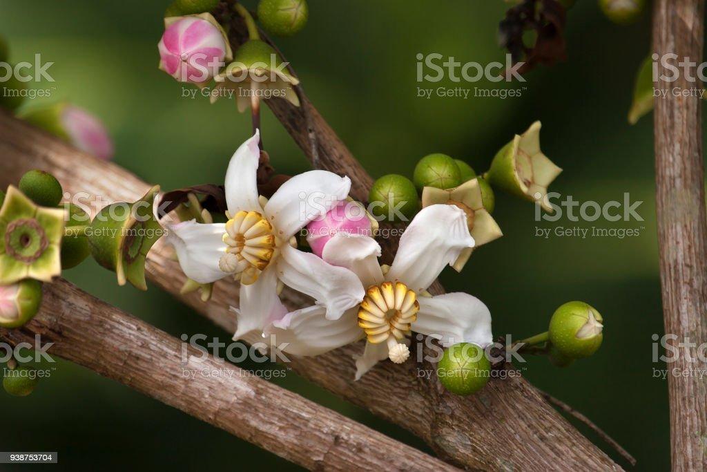 Beautiful blooming wild flowers Pacaya-Samiria National Reserve Amazon Rainforest Peru stock photo