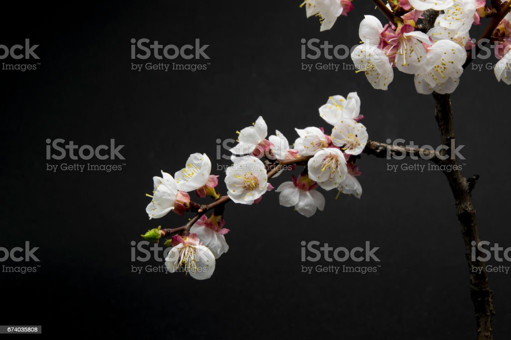 Beautiful blossom branches on black background royalty-free stock photo