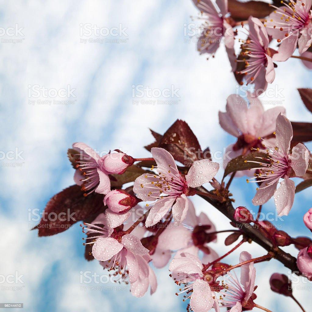 아름다운 꽃 아이리스입니다 royalty-free 스톡 사진
