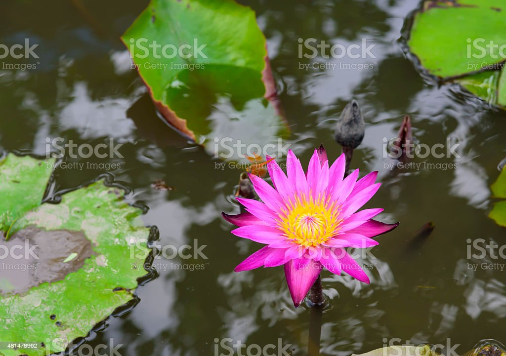 Beautiful blossom lotus flower in thailand pond reflect on water beautiful blossom lotus flower in thailand pond reflect on water royalty free stock photo mightylinksfo
