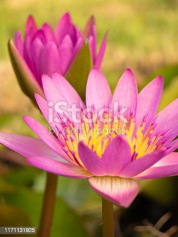 istock Beautiful blossom lotus flower 1171131925