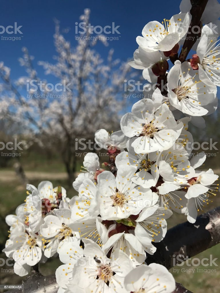 beautiful blossom trees in spring sunny day royalty-free stock photo