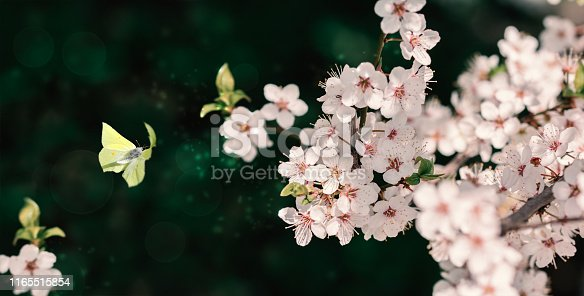 istock Beautiful blossoming cherry tree, flying butterfly on dark green background in sunlight, shallow depth. Vintage toned. Greeting card template. Nature springtime sakura flower panorama. 1165515854