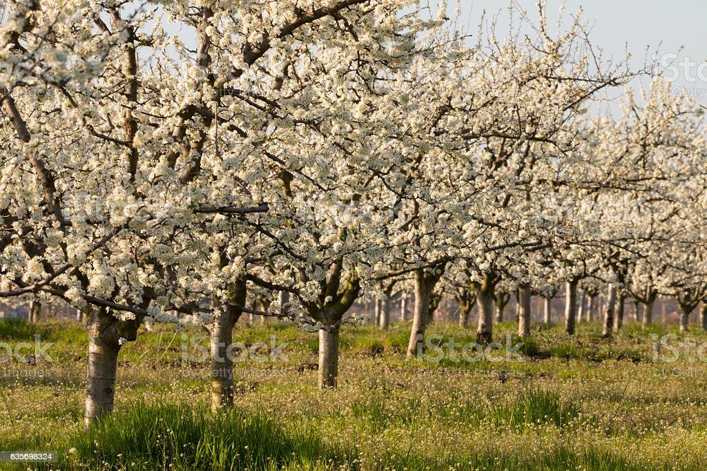 Beautiful blossoming cherry-tree garden, sunset light royalty-free stock photo