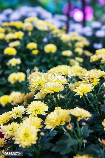 istock Beautiful blossoming chrysanths in autumn botanic garden 1068620724