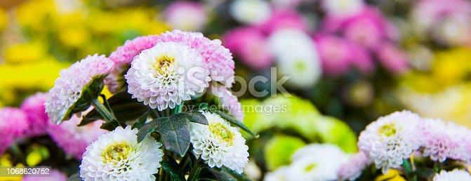 istock Beautiful blossoming chrysanths in autumn botanic garden 1068620752