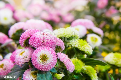 istock Beautiful blossoming chrysanths in autumn botanic garden 1068620754