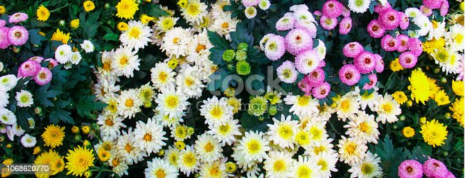 istock Beautiful blossoming chrysanths in autumn botanic garden 1068620770