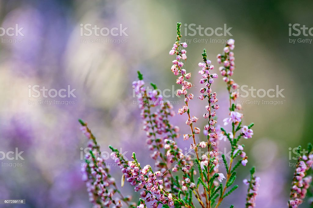 Beautiful blossoming cool purple scotch heather (Calluna vulgari stock photo