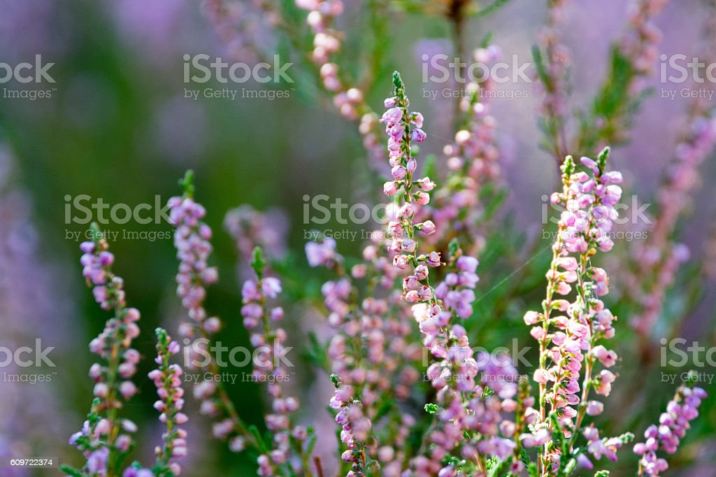 Beautiful blossoming cool purple scotch heather (Calluna vulgari stock photo