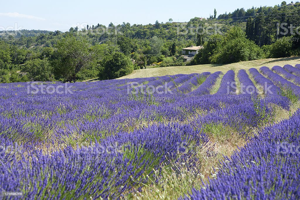 Beautiful blossoming lavender royalty-free stock photo
