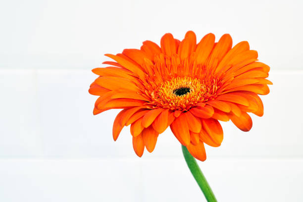Beautiful blossoming orange flower of a major on a white background Beautiful blossoming orange flower of a major on a white background caenorhabditis elegans stock pictures, royalty-free photos & images