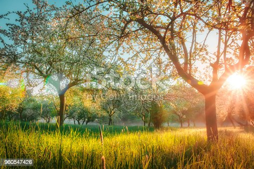 Beautiful blossoming trees in garden at sunset. Bright sunlight shines through branches of flowering trees. Sunset in apple orchard. Warm sunlight glows on yellow grass under trees. Nature landscape
