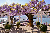 Close-up view to beautiful blossoming trees of wisteria at lake Como lakeshore in Bellagio  and ferries docking at pier in a spring sunny day.