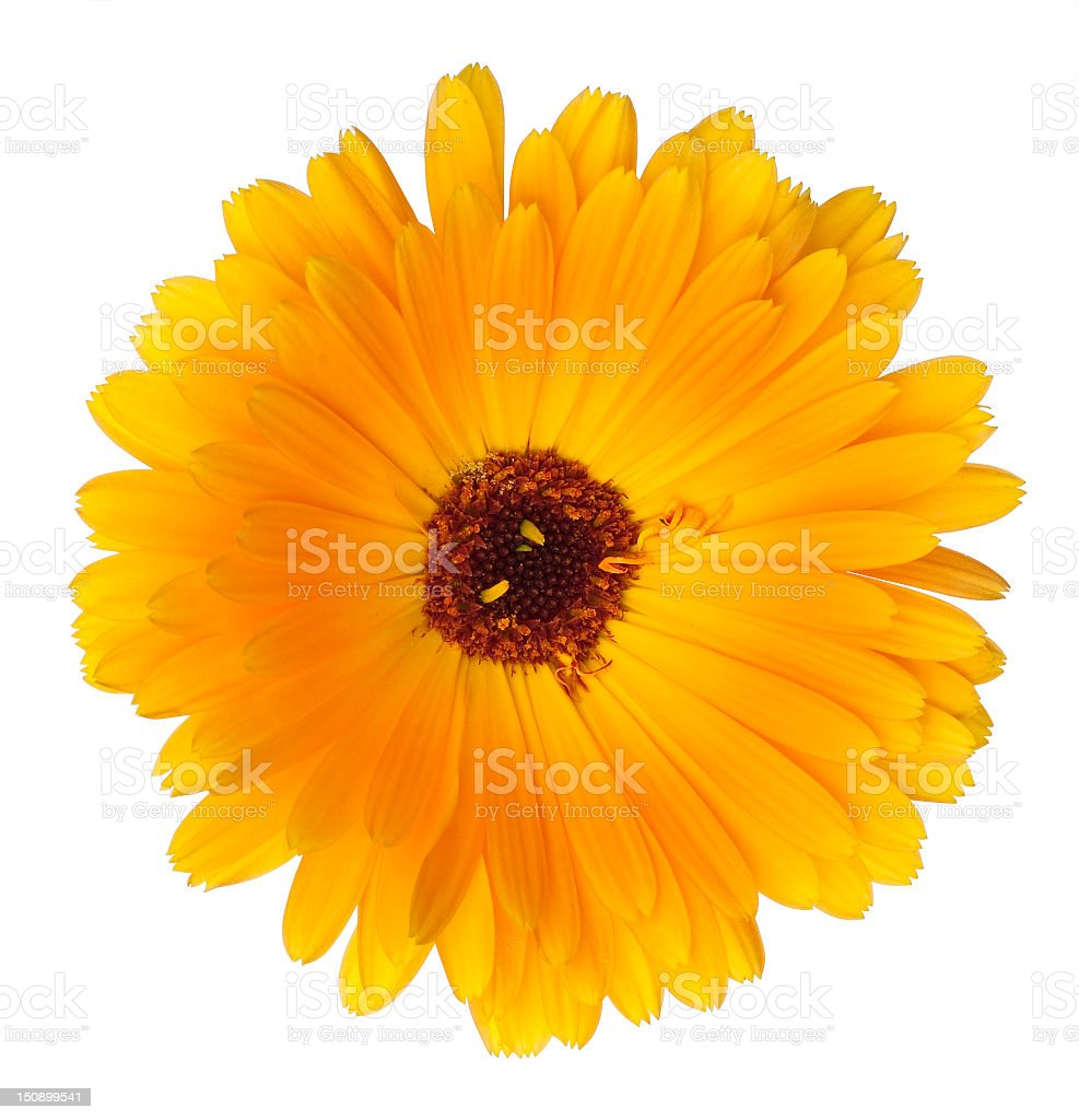 Beautiful blossoming yellow marigold on white background stock photo