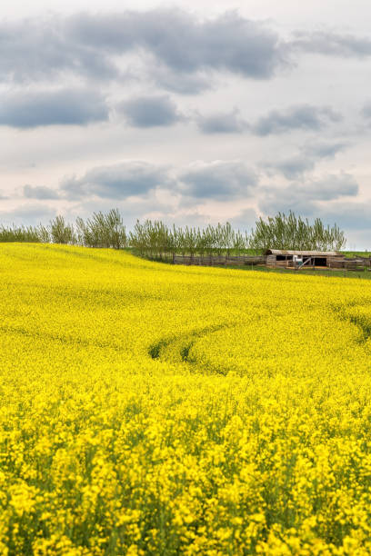 Beautiful blossoming yellow rapeseed field with dramatic stormy sky stock photo