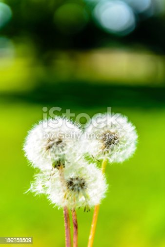 3 Beautiful Blowballs close-up with a green background