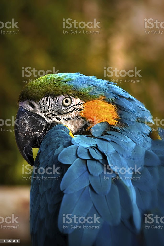 Beautiful Blue and Gold Macaw royalty-free stock photo
