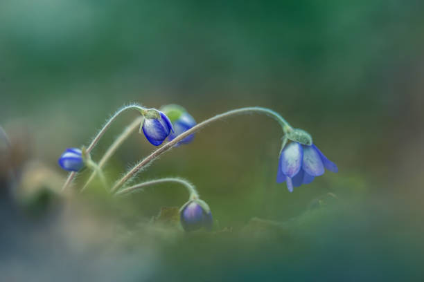 Beautiful blue anemone flower on the spring forest ground. SHallow depth of field, large negative space. Liverwort in natural habitat. stock photo