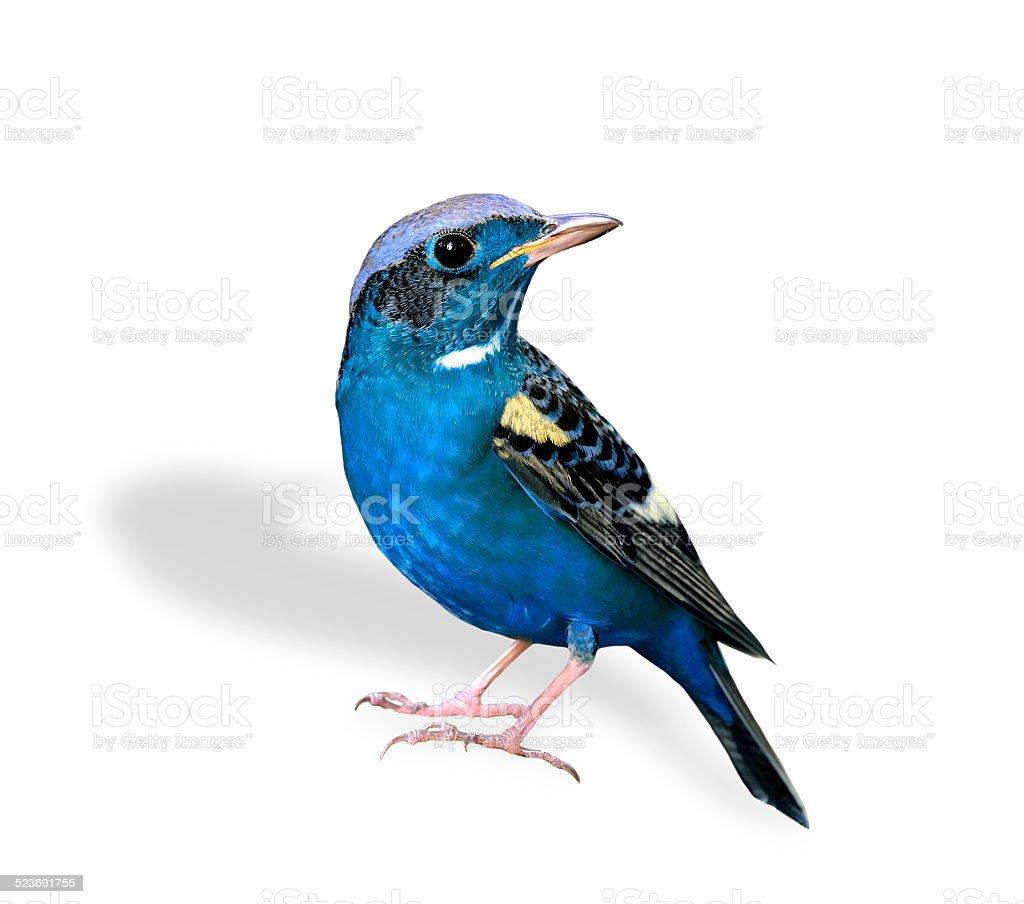 Schöne Blaue Vogel Stehen Isoliert Auf Weißem Hintergrund Stock ...