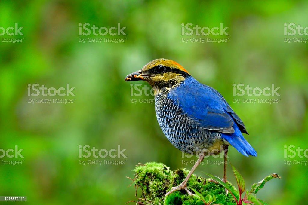 Photo Libre De Droit De Bel Oiseau Bleu Avec Bande Jaune Du Ventre Et Feu Debout Tete Moussu Tache Comptable Ver Des Farines Pour Son Bebe Dans Le Nid Le Male De