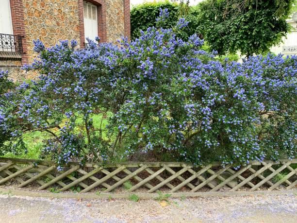 A beautiful blue bush in bloom. stock photo