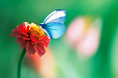 Beautiful blue butterfly on a bright red flower in a fantastic garden. Natural summer spring background. Copy space.