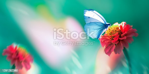 Beautiful blue butterfly on a bright red flower in a fantastic garden. Natural macro summer spring background. Copy space. Banner format.
