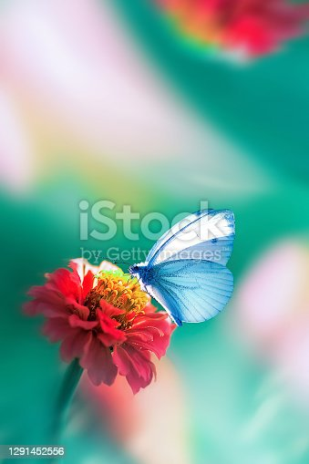Beautiful blue butterfly on a bright red flower in a fantastic garden. Natural macro summer spring background. Copy space.