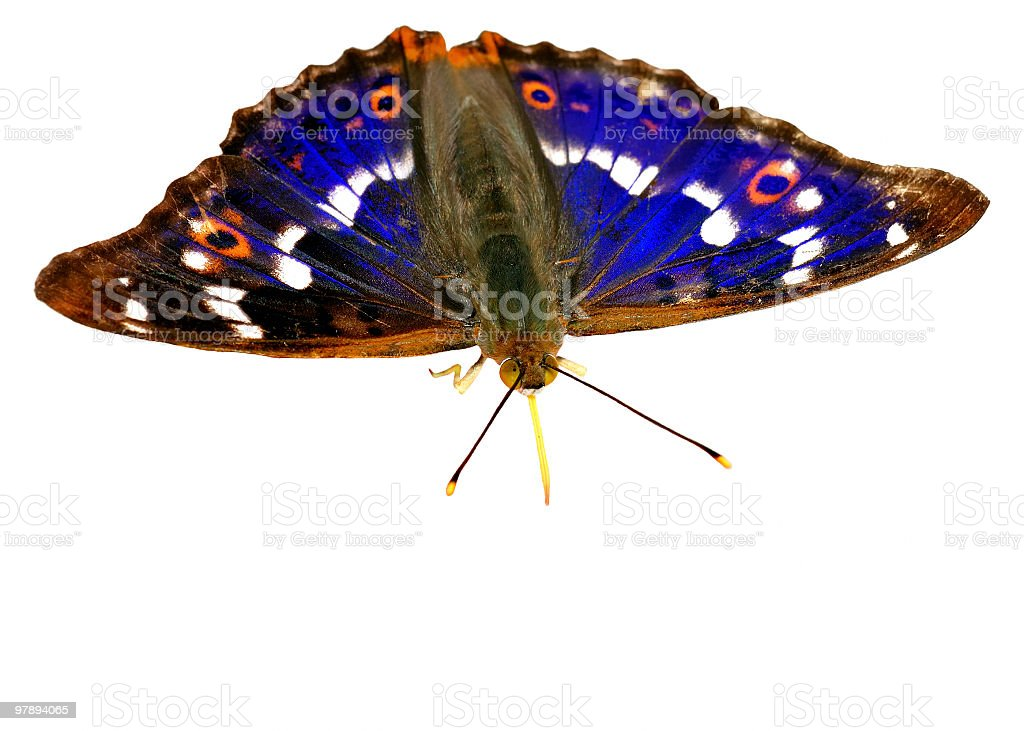 Beautiful blue butterfly on a white background  [Apatura ilia] royalty-free stock photo