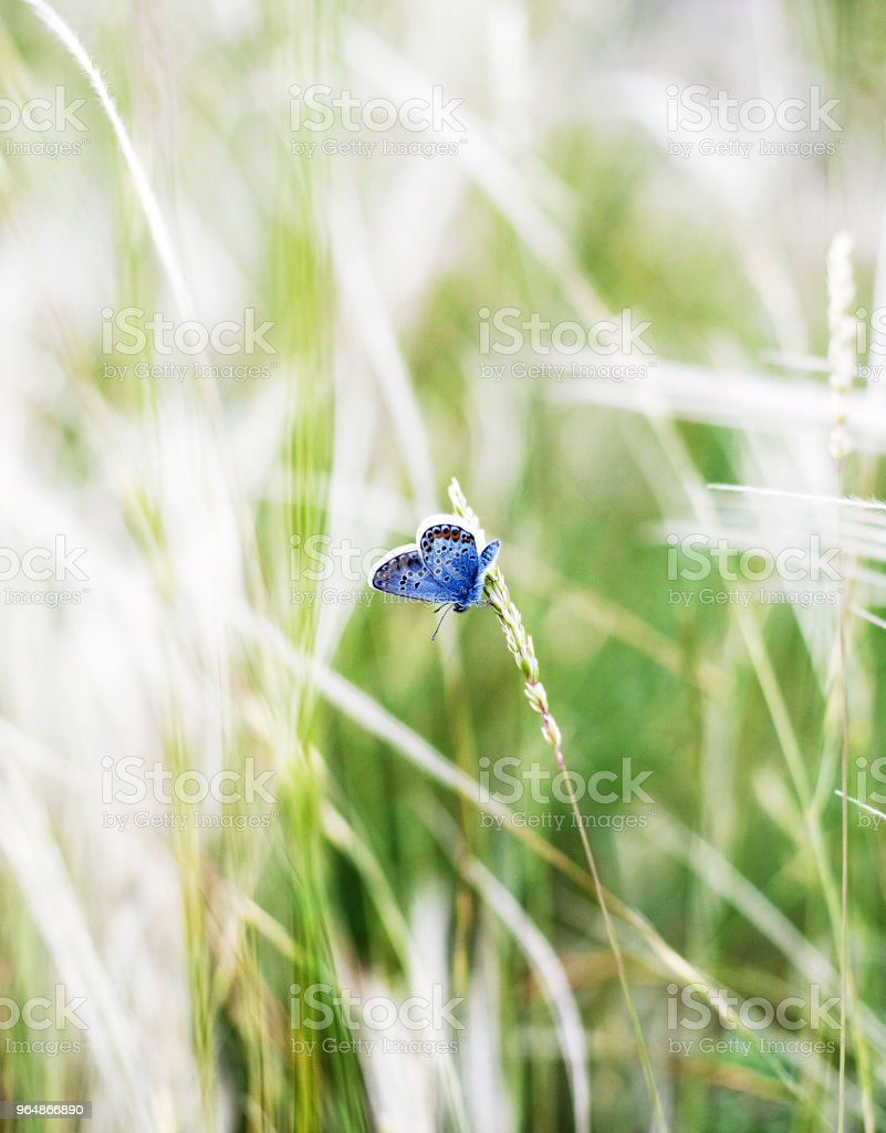 Beautiful blue butterfly sits on the spikelet. Summer field, wild nature. royalty-free stock photo