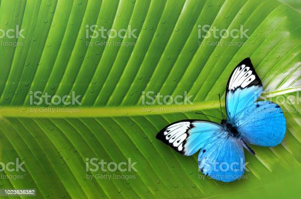 Beautiful blue butterfly sitting on green leaves picture id1023636382?b=1&k=6&m=1023636382&s=612x612&h=ceratqqi4y fs pk8acbgwdbffygub9xn3 mnfsswsi=