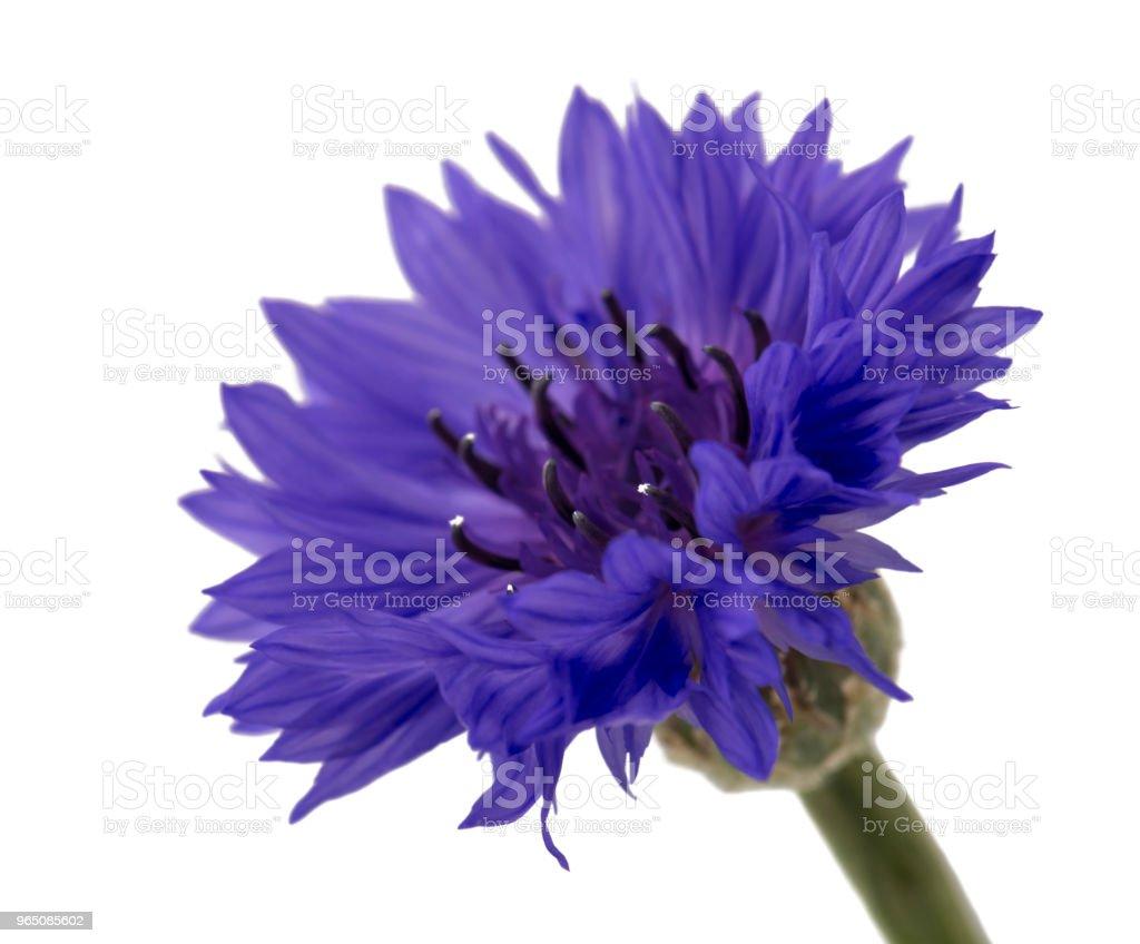 Beautiful blue cornflower isolated on white background zbiór zdjęć royalty-free