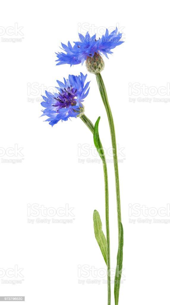 Beautiful blue cornflower isolated on white background stock photo