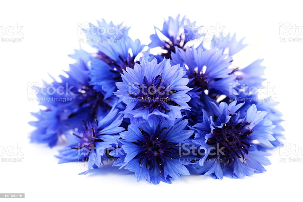 Beautiful blue cornflowers on a white background stock photo