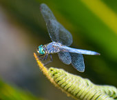 Beautiful blue Dragonfly insect with gossamer wings aqua big lens eyes
