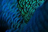 Beautiful blue feather pattern texture background , Blue macro feather, Bird, Animal, Close-up, Backgrounds.